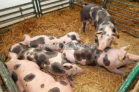 maiale agricoltura fattoria animale maiali gabbia