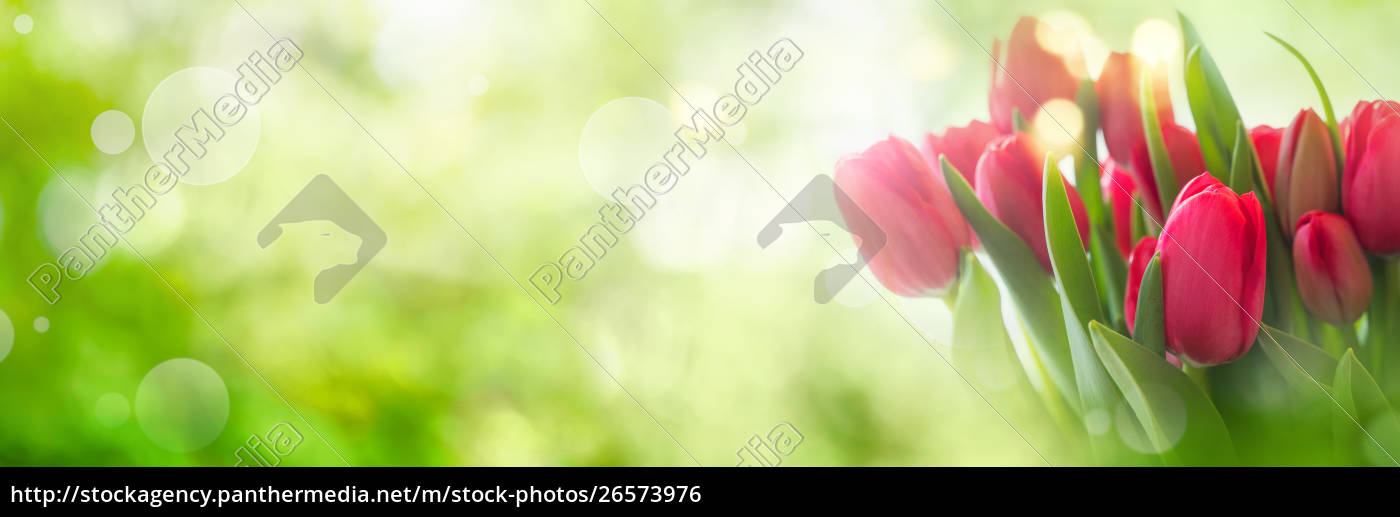tulipani, su, sfondo, primaverile - 26573976