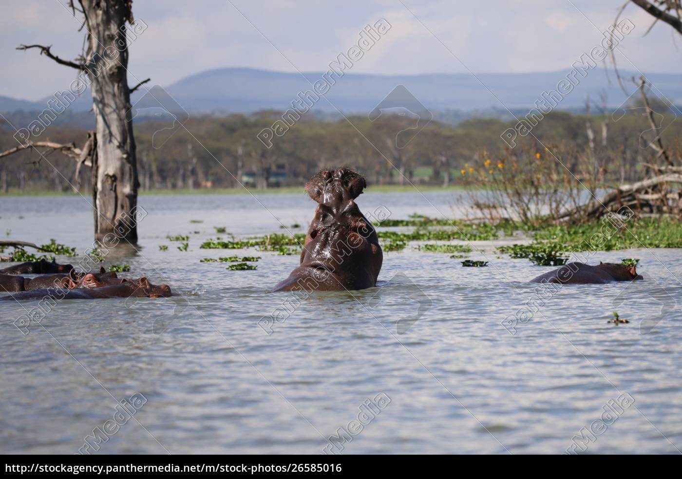 ippopotami, nel, lago, naivasha, in, kenya - 26585016