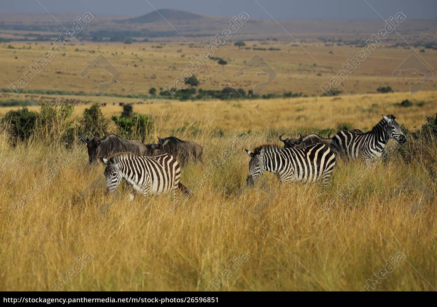 zebre, di, pianura, erranti, nel, masai - 26596851