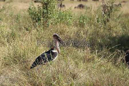 cicogna, marabou, che, si, trova, nell'erba - 26609770