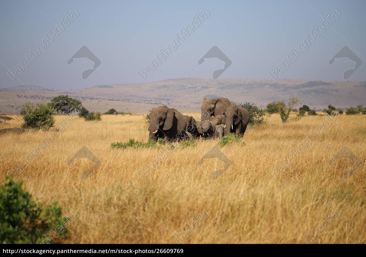 gruppo, di, elefanti, africani, nel, masai - 26609769