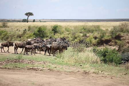 group of wildebeests in the masai