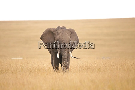 african elephant in the savannah