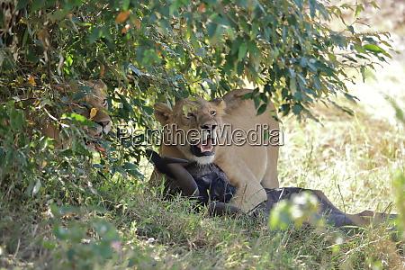 due, leoni, con, preda, sotto, un - 26641514