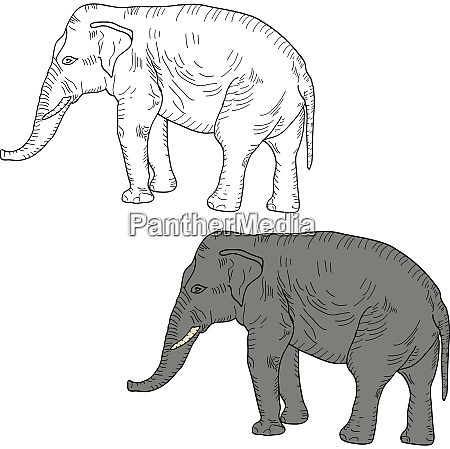 sketch a large african elephant on