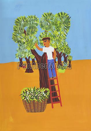 uomo raccogliendo olive in olivigli
