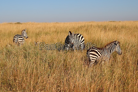 zebras, in, the, high, grass, of - 26812578