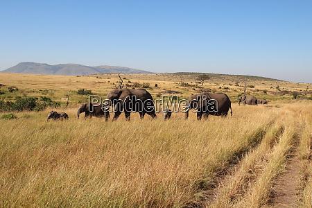 gruppo, elaphant, errante, nel, masai, mara - 26832970