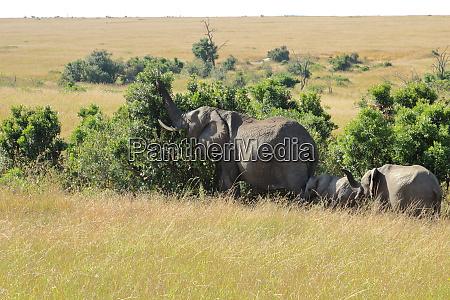 la, famiglia, degli, elefanti, mangia, da - 26841649