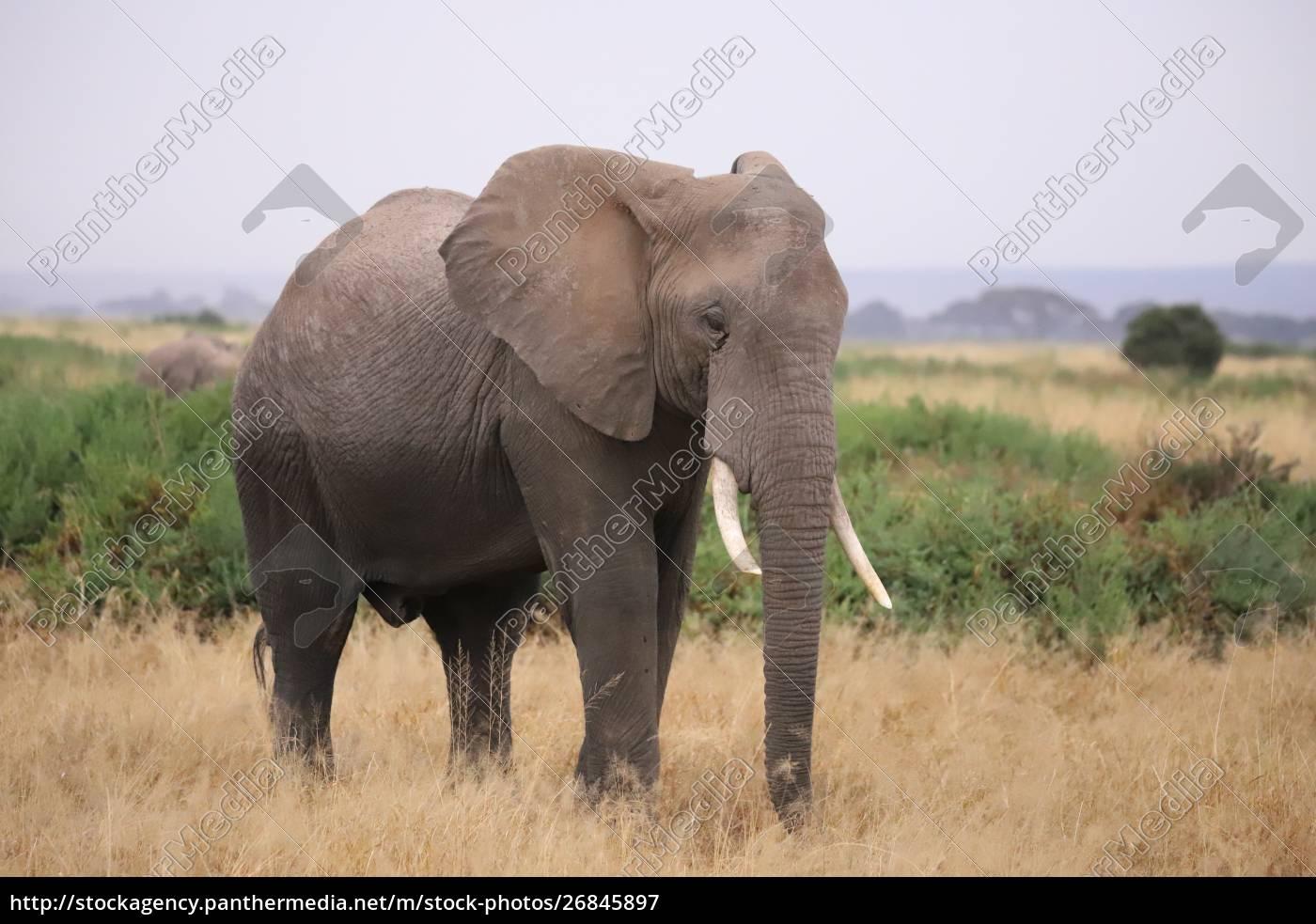 primo, piano, di, un, elefante, nel - 26845897