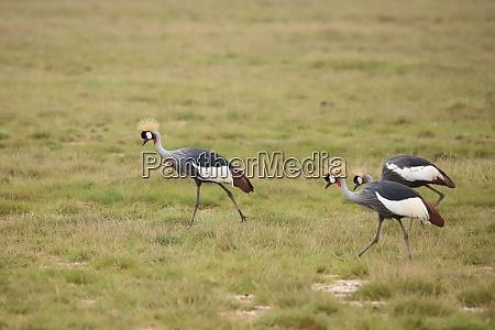 grey crowned cranes in amboseli national