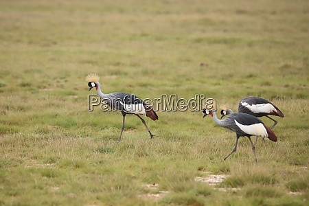 grey, crowned, cranes, in, amboseli, national - 26851934