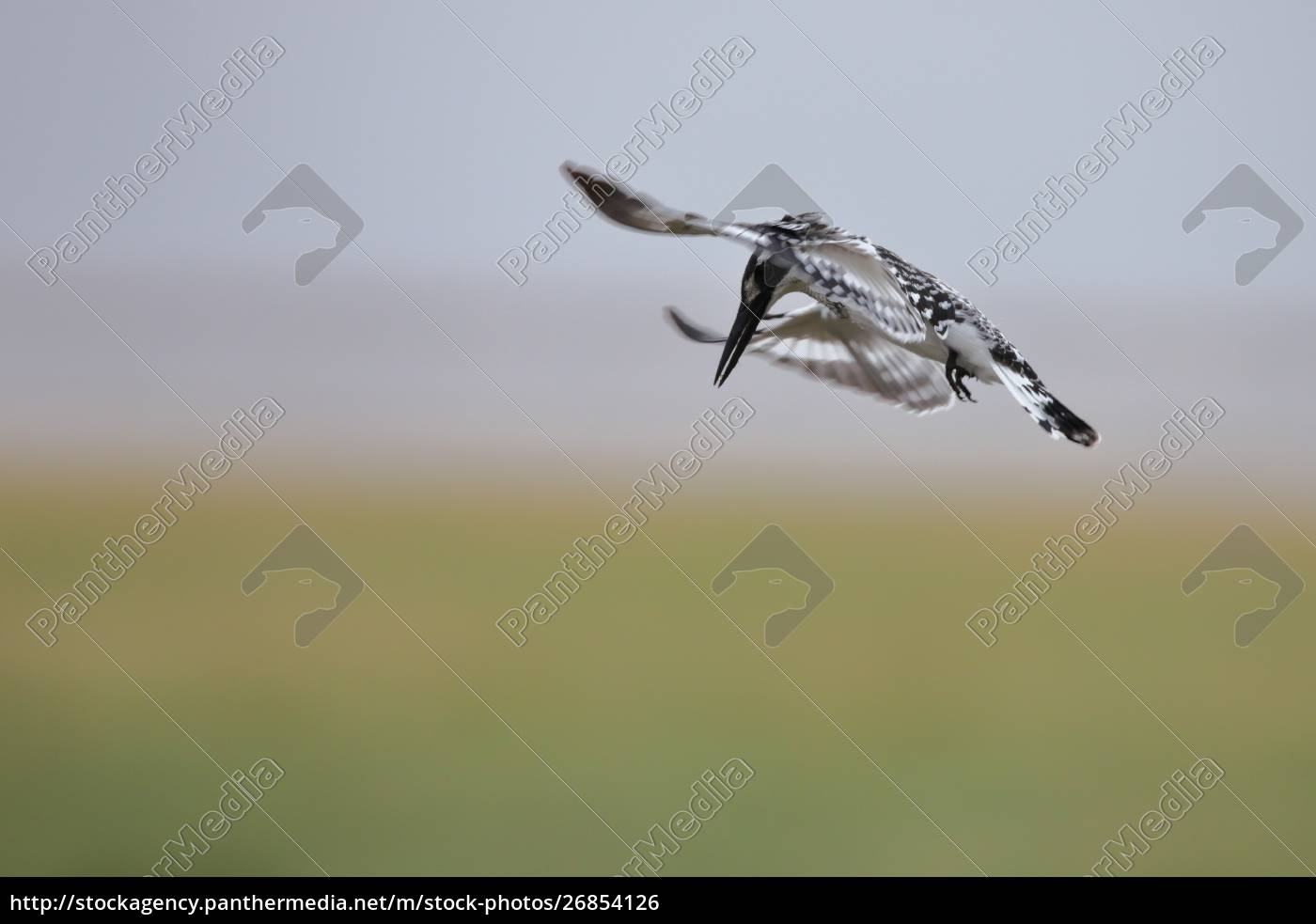 pied, kingfisher, in, flight - 26854126
