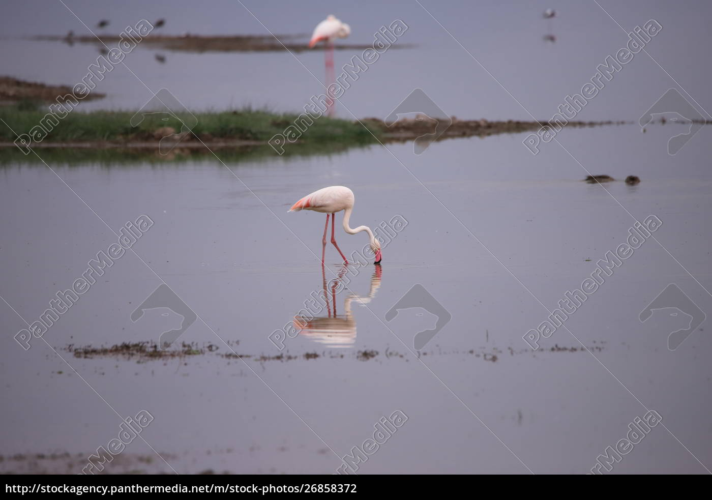 flamingo, stands, in, a, lake - 26858372