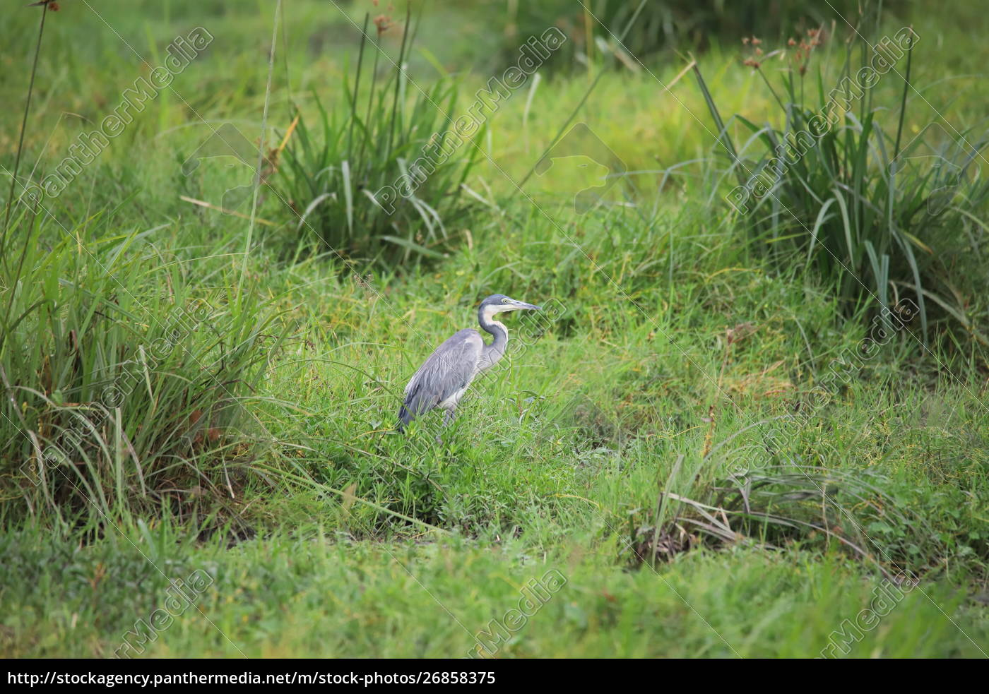 heron, surrounded, by, green, grass, in - 26858375