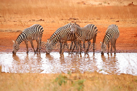 five zebras at the waterhole