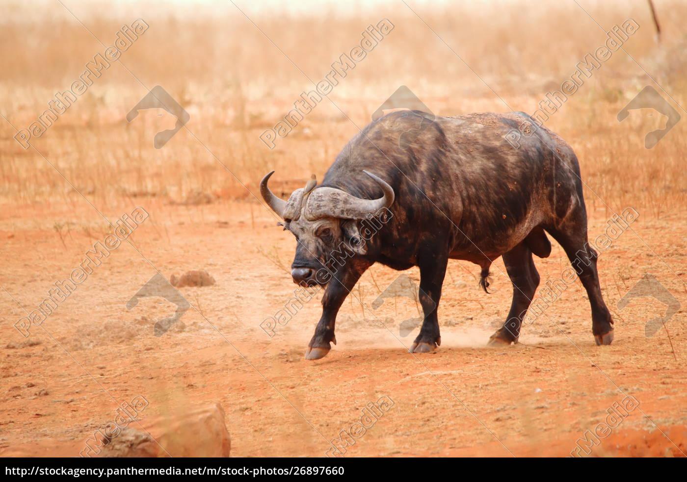 bufalo, del, capo, nella, riserva, di - 26897660
