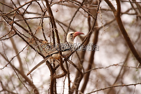 red billed hornbill in a scrub