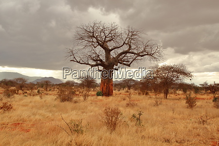 baobab in the kenyan savannah