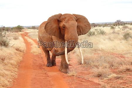 un, elefante, cammina, su, una, strada - 26933147