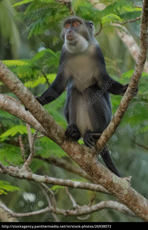 scimmia, sykes, su, un, ramo - 26938072
