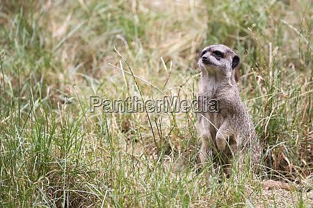 meerkat in the grass