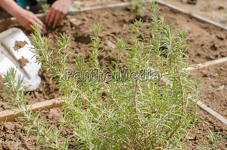 planting herbs on garden