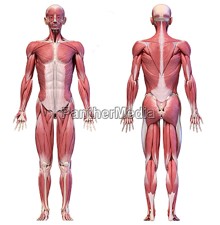 human body full figure male muscular