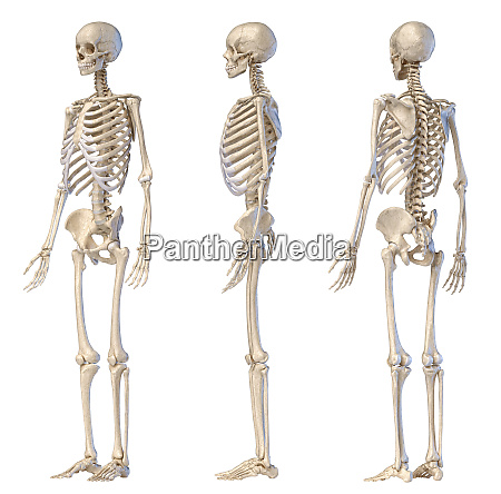 human male skeleton full figure three