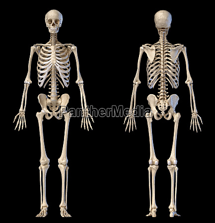 human male skeleton full figure front