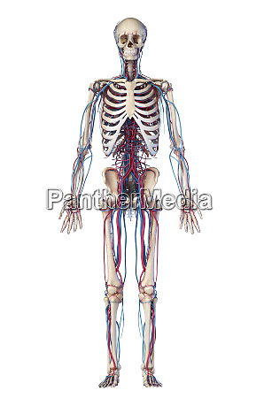 human body anatomy skeleton with veins