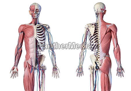 human 34 body skeleton with muscles