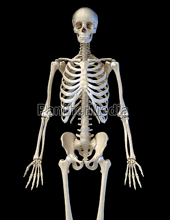 human anatomy bone skeleton viewed from