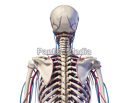human torso anatomy skeleton with veins