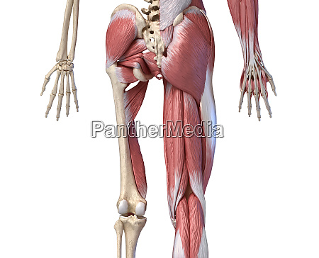 human male anatomy limbs and hip