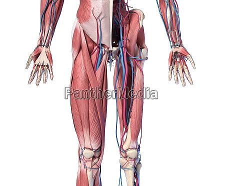 anatomia umana arti e sistemi scheletrici