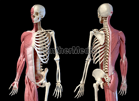 human male anatomy 34 figure muscular