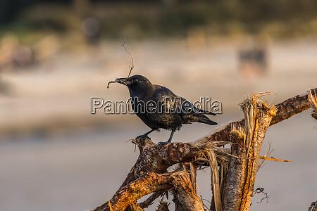 an american crow corvus brachyrhynchos collects