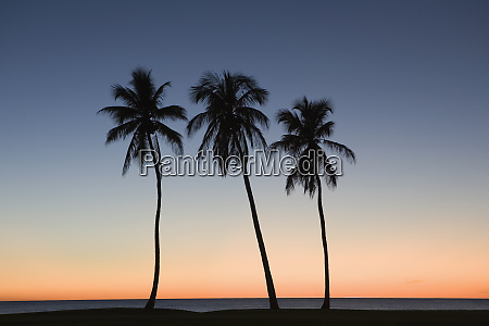 silhouette of three palm trees on