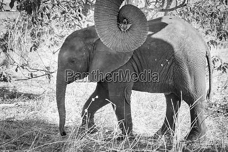 africa botswana chobe national park black