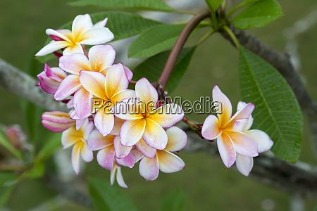 cuba havana raindrops on plumeria blossoms