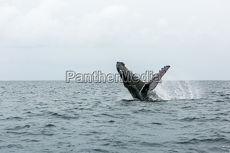 a, humpback, whale, performs, a, breach - 27329057