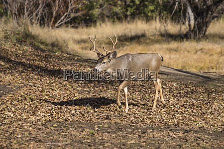 usa california yosemite national park buck