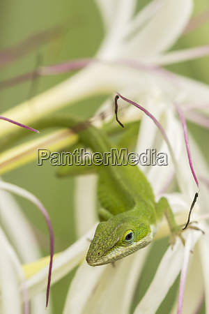 usa hawaii kauai anole lizard on