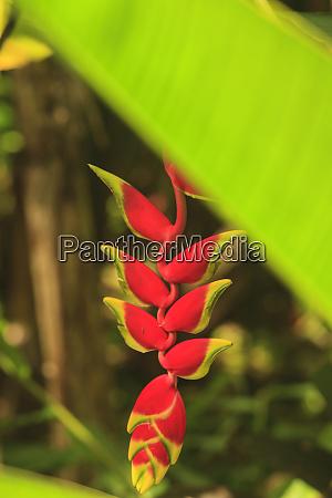 hanging heliconia hawaiian tropical botanical gardens