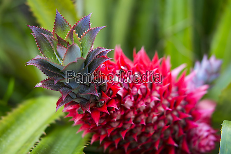 usa hawaii maui pineapple bromeliad in