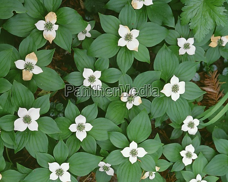 usa oregon willamette national forest bunchberry