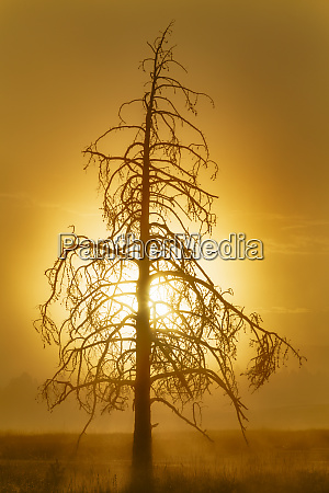 tree silhouetted at sunrise upper geyser