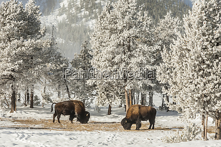 usa wyoming yellowstone national park winter
